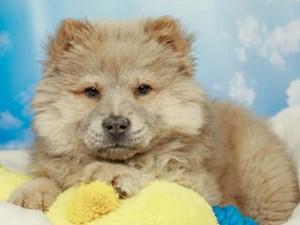 Chow Chow-DOG-Female--2590410