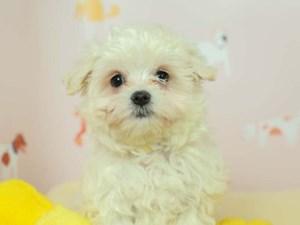 Morkie-DOG-Female--2583081