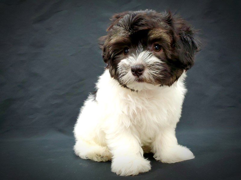 Havanese DOG Black and White ID:2588559 Located at Petland ...