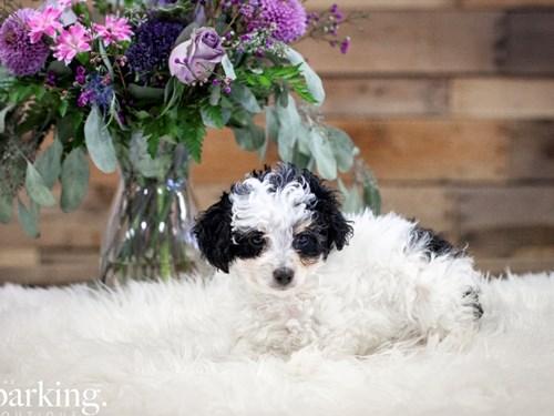 Grand Rapids Mini Aussiedoodle Dog Adoption Grand Rapids, MI