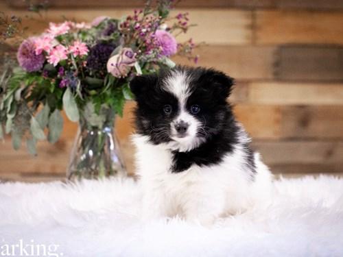 Grand Rapids F1B Pomsky Dog Adoption Grand Rapids, MI