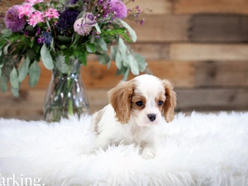 Grand Rapids Cavalier King Charles Spaniel Dog Adoption Grand Rapids, MI