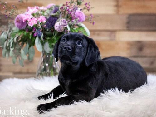 Grand Rapids Labrador Retriever Dog Adoption Grand Rapids, MI