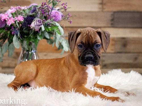 Grand Rapids Boxer Dog Adoption Grand Rapids, MI