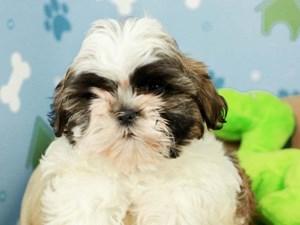 Mal Shi-DOG-Male--2599081