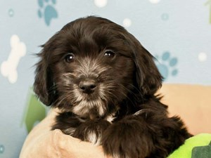 Golden Tulear-DOG-Female--2598451