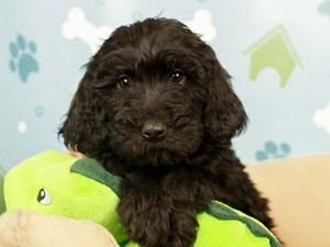 Goldendoodle-DOG-Female--2598630