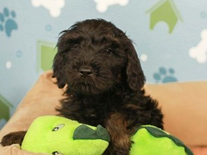 Goldendoodle-DOG-Female--2598634