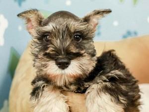 Miniature Schnauzer-DOG-Male-slt & pepper-2599043