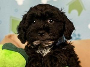 Shih Poo-DOG-Male--2598815