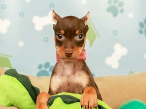 Miniature Pinscher-DOG-Male-CHOCOLATE-