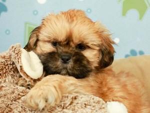 Shih Tzu-DOG-Male--2598974