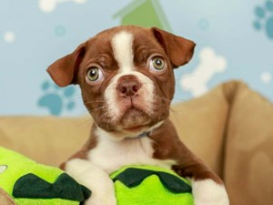 Boston Terrier-DOG-Male--