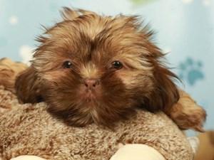 Shih Tzu-DOG-Male-LIVER-