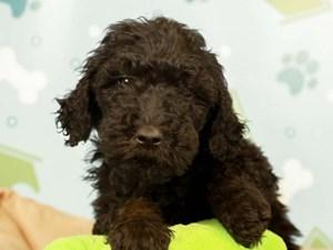 Goldendoodle-DOG-Male--2598625