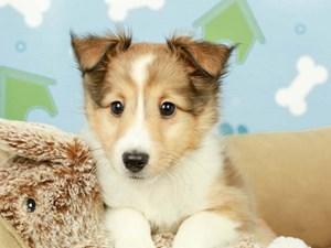 Shetland Sheepdog-DOG-Male-sbl & white-2598967