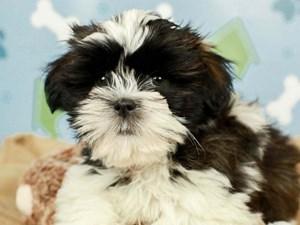 Shih Tzu-DOG-Male-DARK BRINDLE-2598861