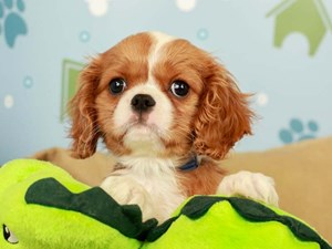 Cavalier King Charles Spaniel-DOG-Male-Blenheim-2597321