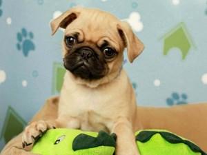 Pug-DOG-Male-FAWN-2598748