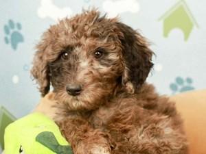 Goldendoodle-DOG-Female--2598629
