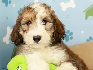 Bernedoodle-DOG-Female-BLK/BRN-