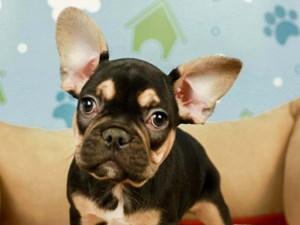 French Bulldog-DOG-Male-BLACK/TAN-2598948