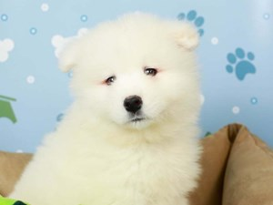 Samoyed-DOG-Female--