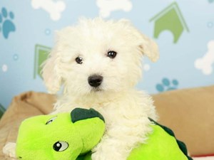 Bichon Frise-DOG-Male-White-