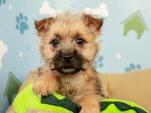 Norwich Terrier-DOG-Female-Wheaten-