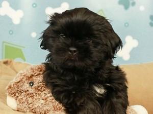 Shih Tzu-DOG-Male--2598975