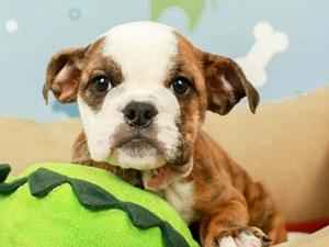 English Bulldog-DOG-Female-BRINDLE-2598887