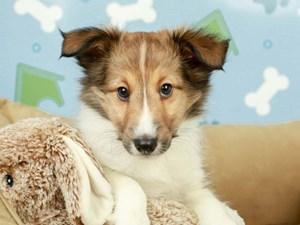 Shetland Sheepdog-DOG-Male-sbl & white-2598966