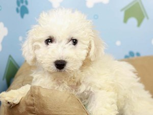 Bichon Frise-DOG-Female-White-