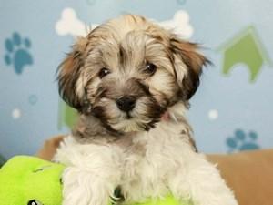 Havanese-DOG-Male--