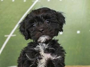 Lhasa Poo-DOG-Female--2605681