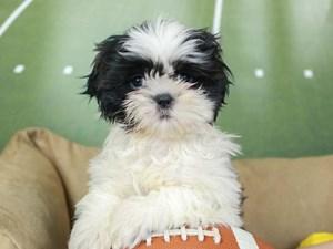 Shorkie-DOG-Female--2605392