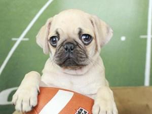 Pug-DOG-Male--