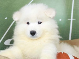 Samoyed-DOG-Male--2605590