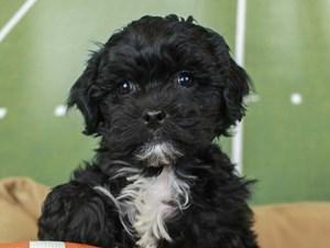 Lhasa Poo-DOG-Male--2605676