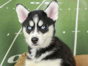 Siberian Husky-DOG-Male--