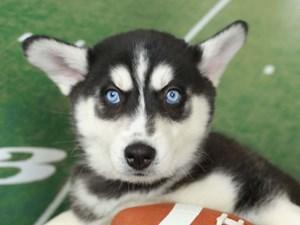 Siberian Husky-DOG-Female--2606361