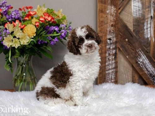 Grand Rapids F1B Mini Labradoodle Dog Adoption Grand Rapids, MI