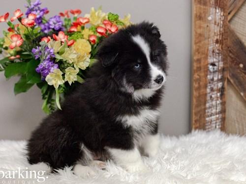 Grand Rapids Huskimo Dog Adoption Grand Rapids, MI