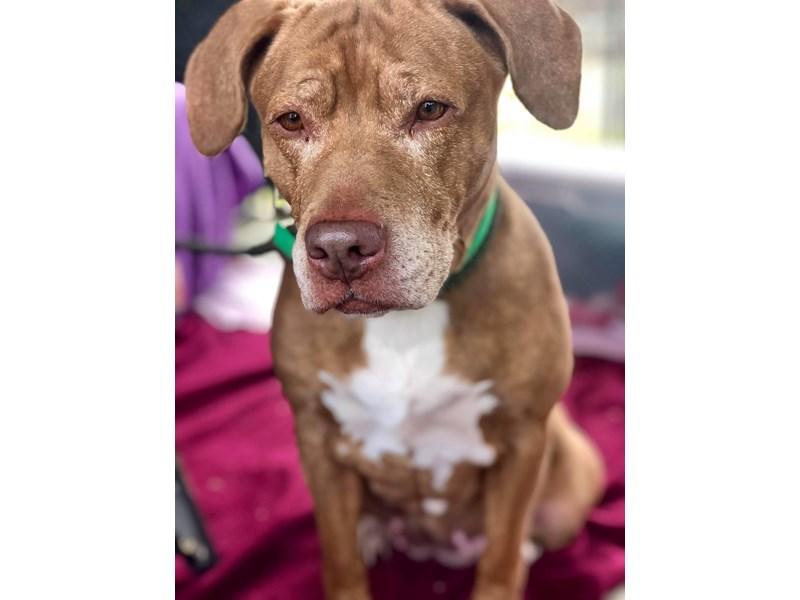 American Pit Bull Terrier-DOG-Female-Brown-2507951-img2