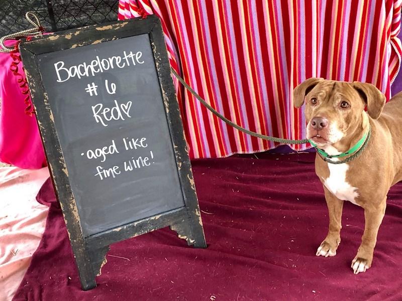American Pit Bull Terrier-DOG-Female-Brown-2507951-img3
