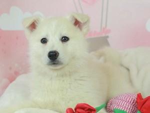 Pomsky-DOG-Male--2613421