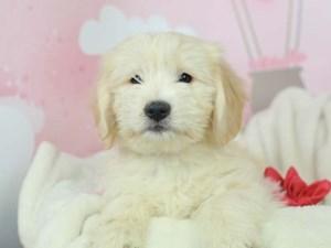 Golden Tulear-DOG-Male--2613119