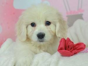 Golden Tulear-DOG-Female--2613123