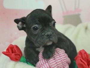 French Bulldog-DOG-Female--2613248