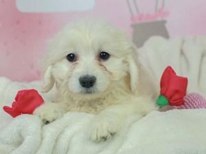 Golden Tulear-DOG-Female--2613124